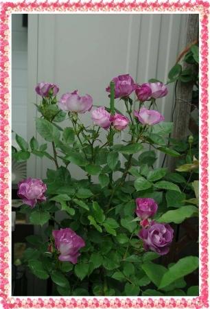 rose513 002