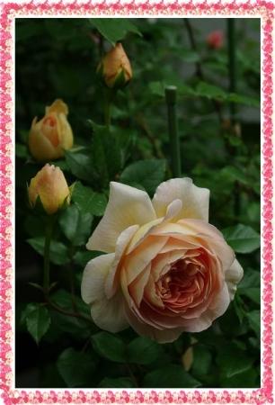 rose513 007