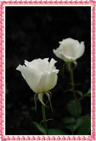 rose513 015