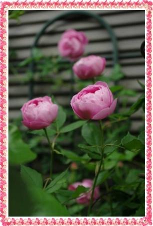 rose513 019