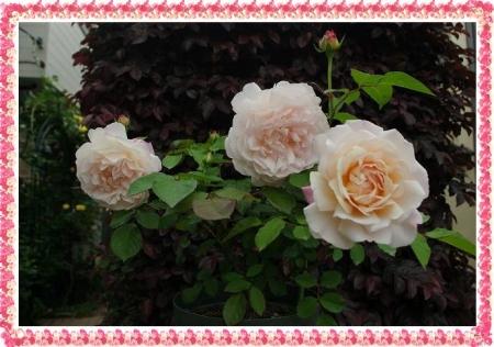 rose513 021