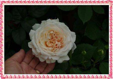 rose513 035