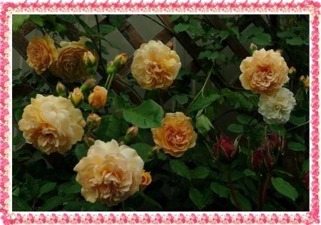 rose513 058