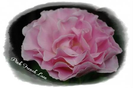 rose514 011