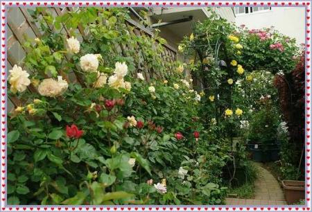 rose514 025
