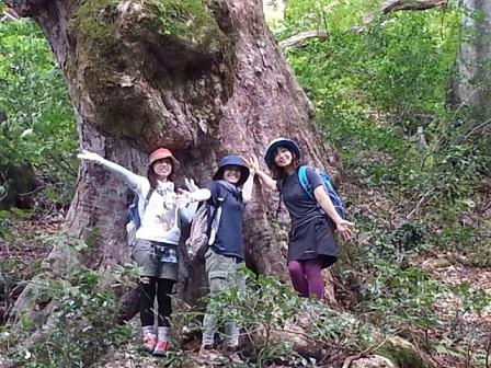トチの巨木