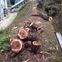 140221_11柳の木切り出す