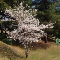 140331_BSの桜