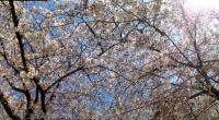 140404_3桜