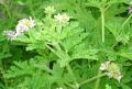 菊がすごいが蚊も凄い