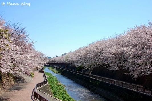 石神井桜 005