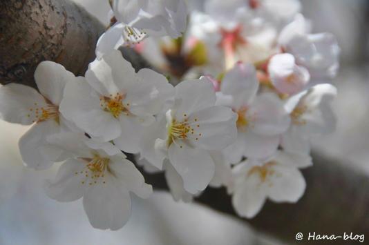 石神井桜 033