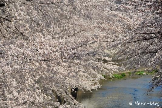 石神井桜 114