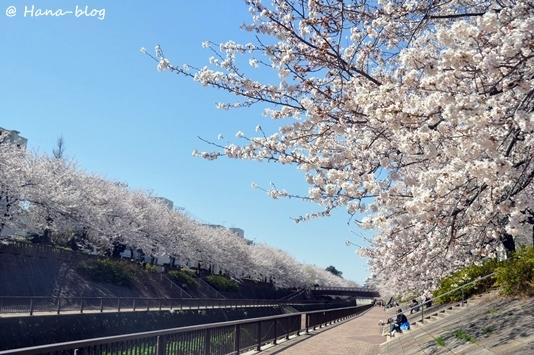 石神井桜 177