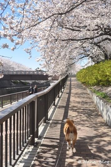 石神井桜 242