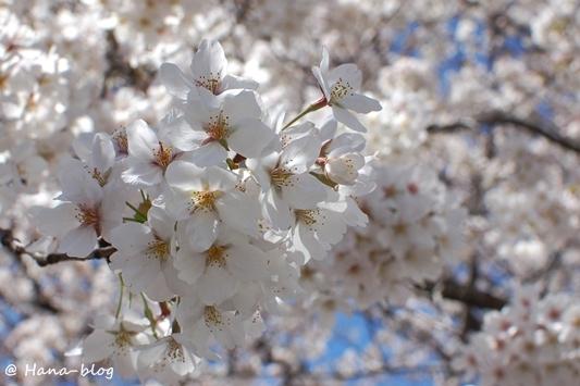 石神井桜 043