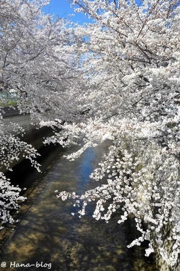 石神井桜 123