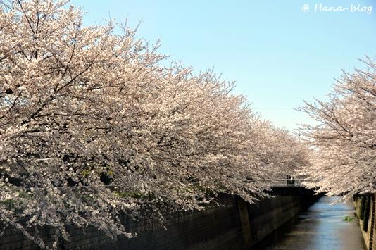 石神井桜 138