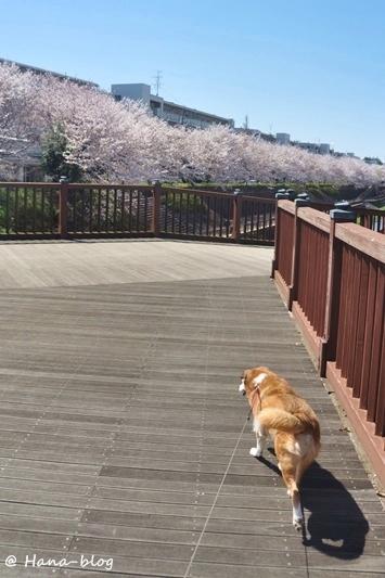 石神井桜 203