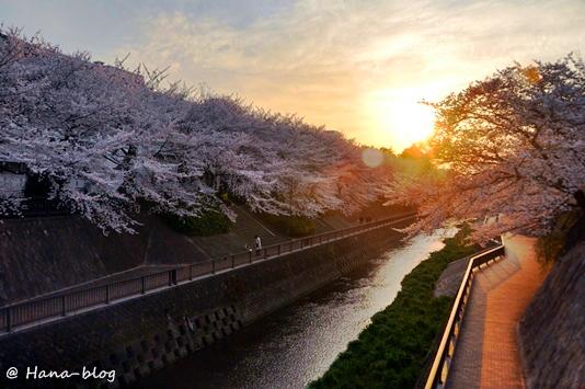 石神井桜 049