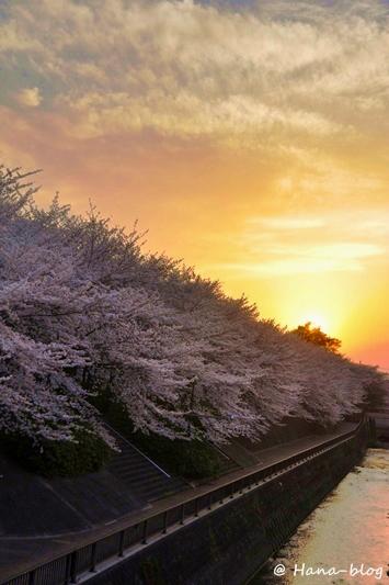 石神井桜 108