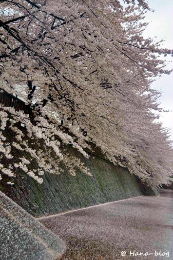 石神井桜 040