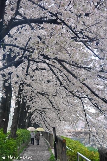 石神井桜 062