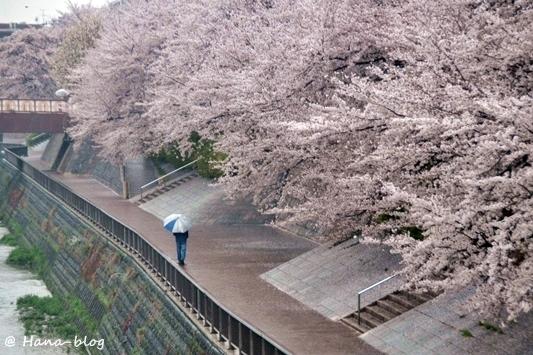 石神井桜 068