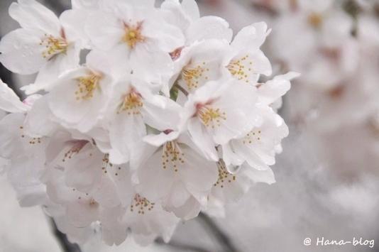 石神井桜 084