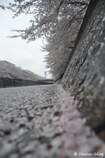 石神井桜 032