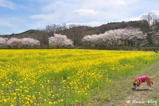 巾着田桜 043