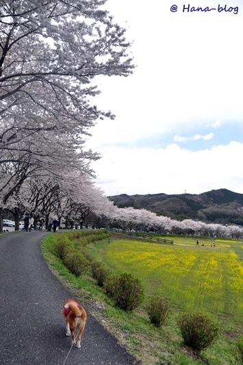巾着田桜 225