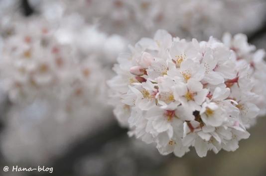 巾着田桜 170