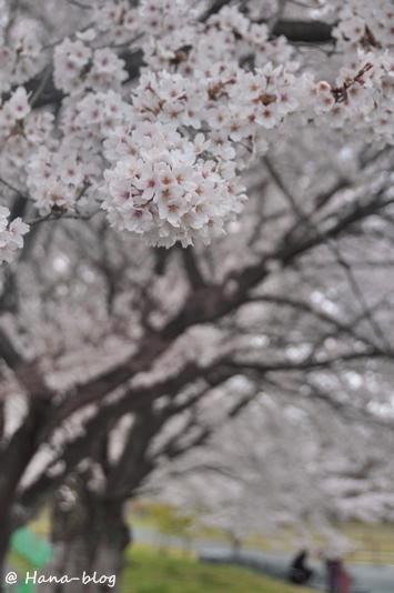 巾着田桜 173