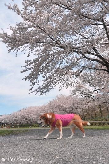 巾着田桜 117