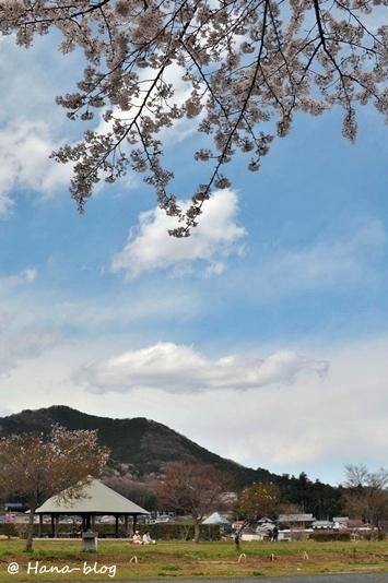 巾着田桜 130