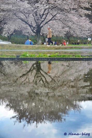 巾着田桜 175