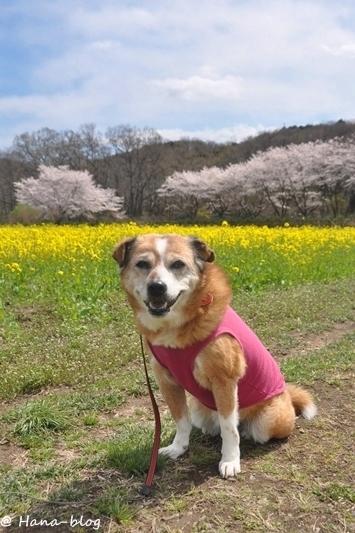 巾着田桜 035