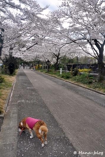 巾着田桜 228