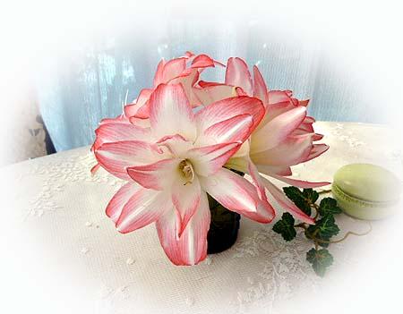 アマリリス二番花