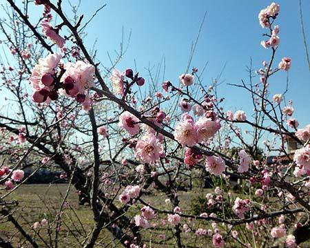 梅 開花2
