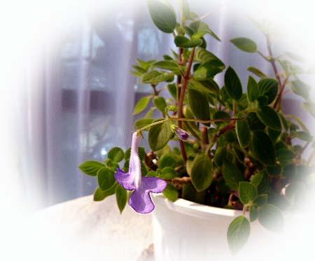 ストレプトカ-パス一番花