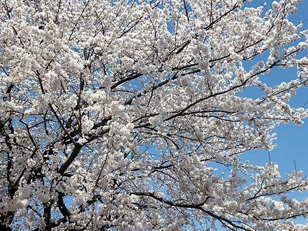 信号待ち・幼稚園の桜