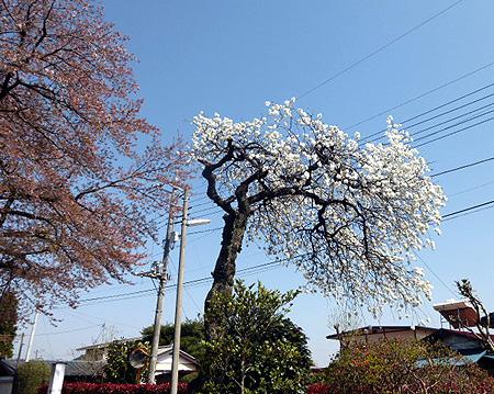 桜は散り・・・