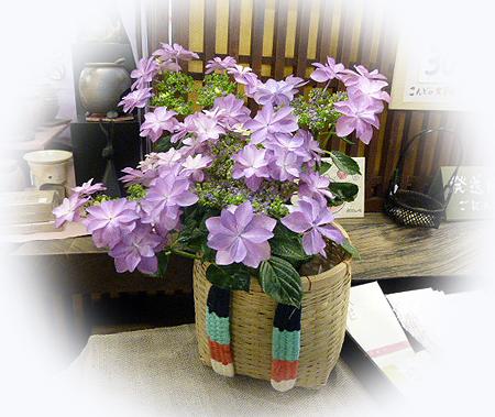 店内の紫陽花