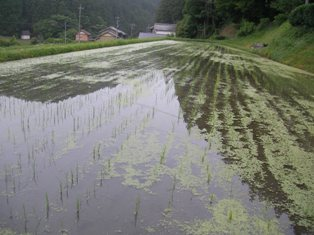 カシオの田んぼ (2)