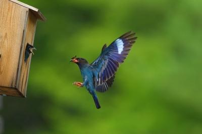 14 綺麗なタマムシを運ぶ親鳥 優秀賞