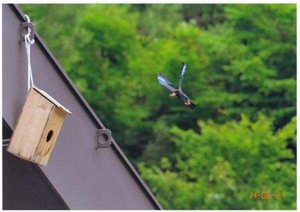 54子育中、餌を運ぶ親鳥