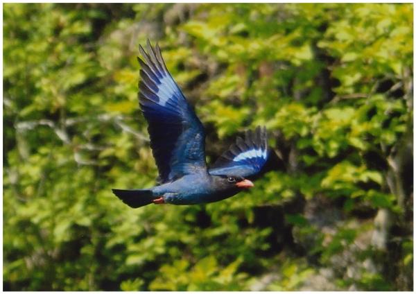 65村鳥ブッポウソウの飛翔