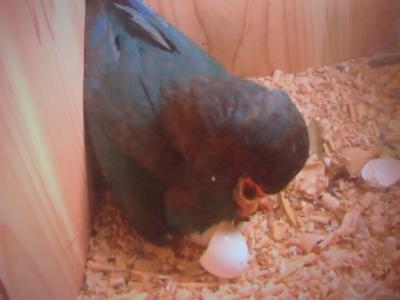 ブッポウソウ卵孵化